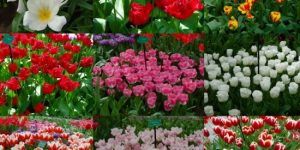 Flores na Holanda